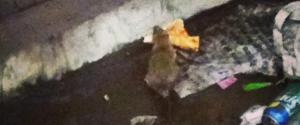 NYC RAT