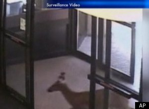 Deer Walks Into Bank Video