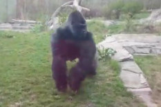Gorilla at zoo | Pic: Youtube