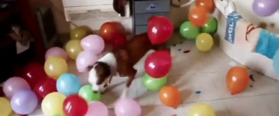 Dog Pops Balloons: Two-Year-Old Bunk Goes Berserk (