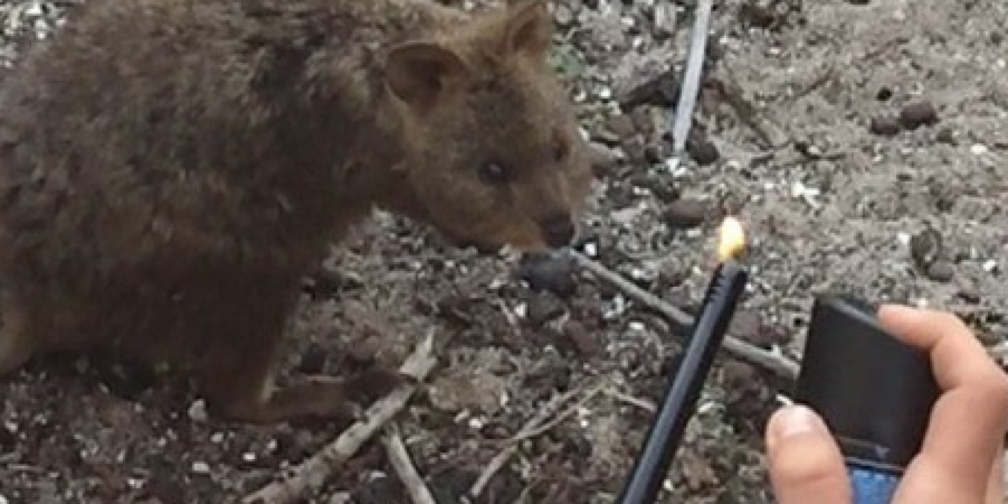 French Tourists Who Set Quokka Aflame Get Just A Week In ...