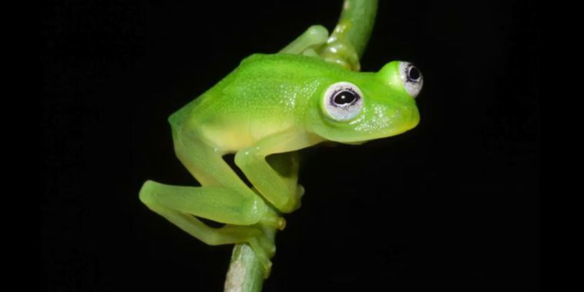 Bright Green Frogs