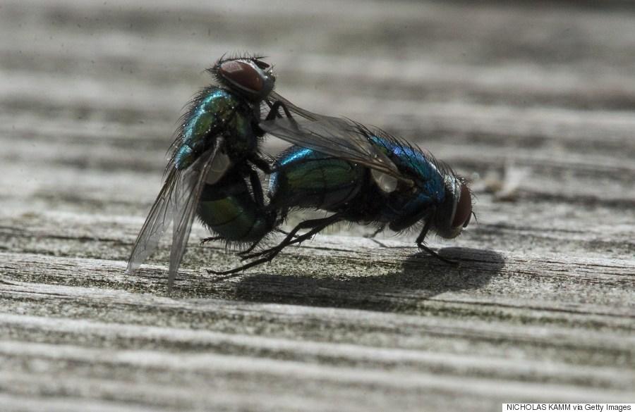 flies copulating