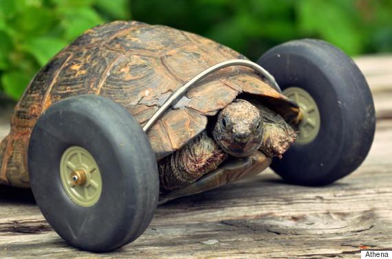 tortoise wheels