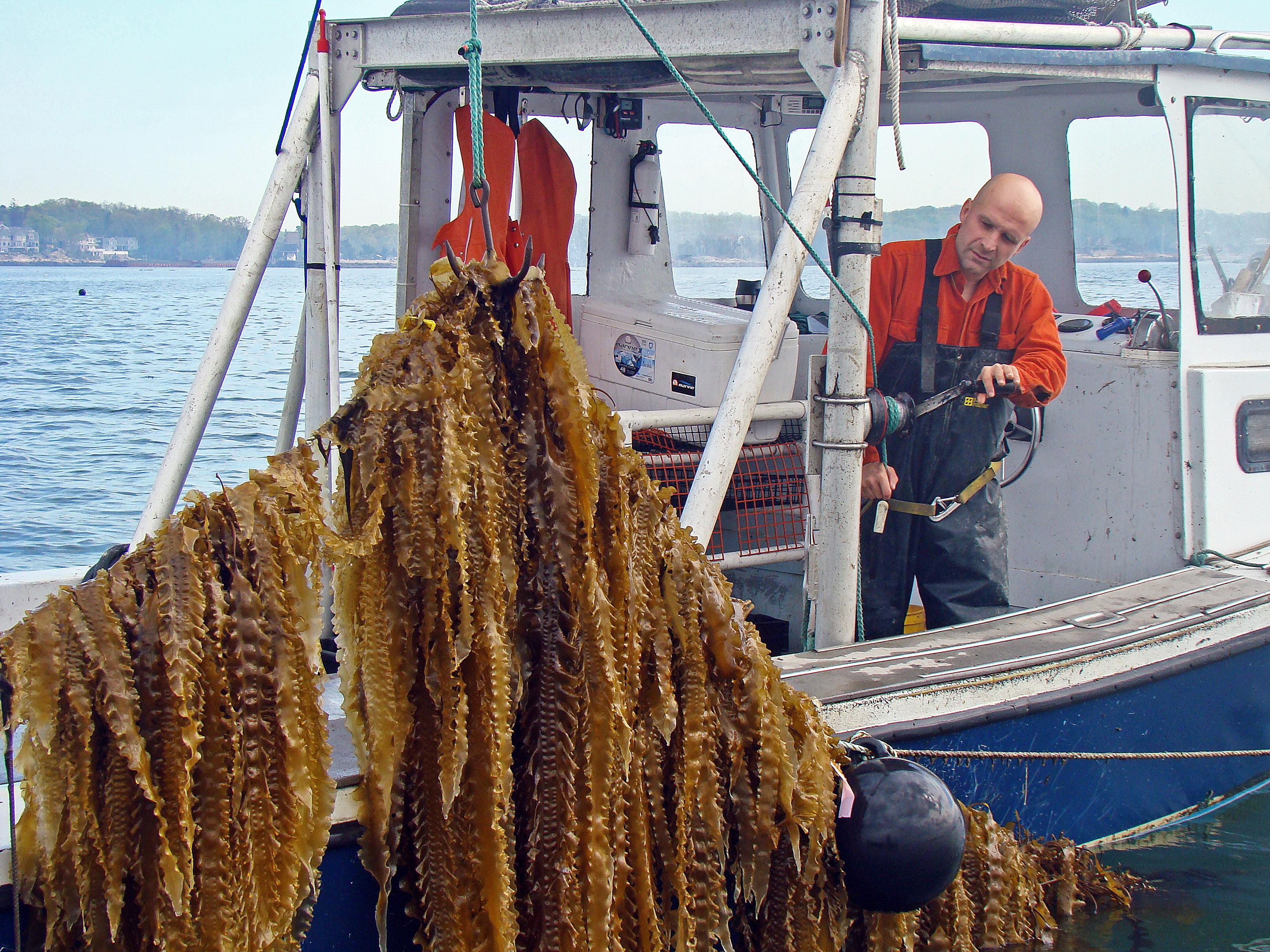 kelp fishing