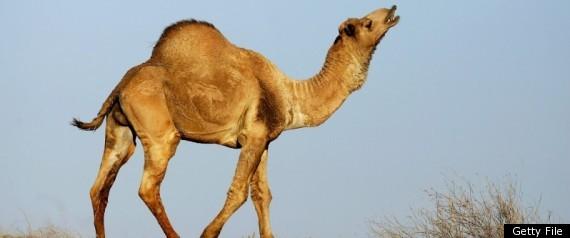 AUSTRALIA CAMELS CARBON CREDITS