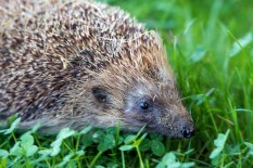 Hedgehog | Pic: Getty Images
