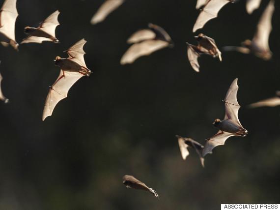bats animals