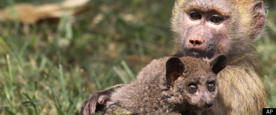 BABOON ADOPTS BUSH BABY
