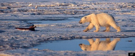 CLIMATE CHANGE POLAR BEAR