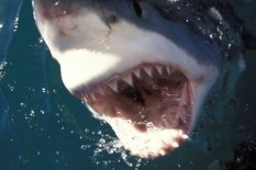 A great white shark | Pic: PA