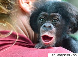 Rejected Baby Chimp Travels Hundreds Of Miles To Meet Surrogate Mom
