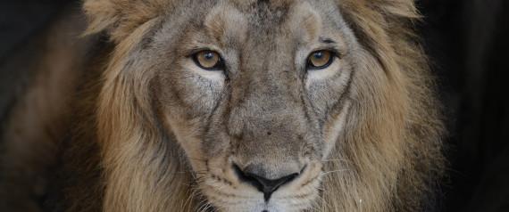 LIONS ASIATIC