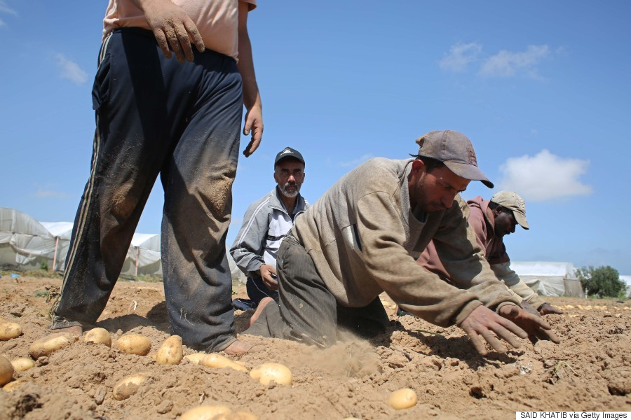 gaza potatoes