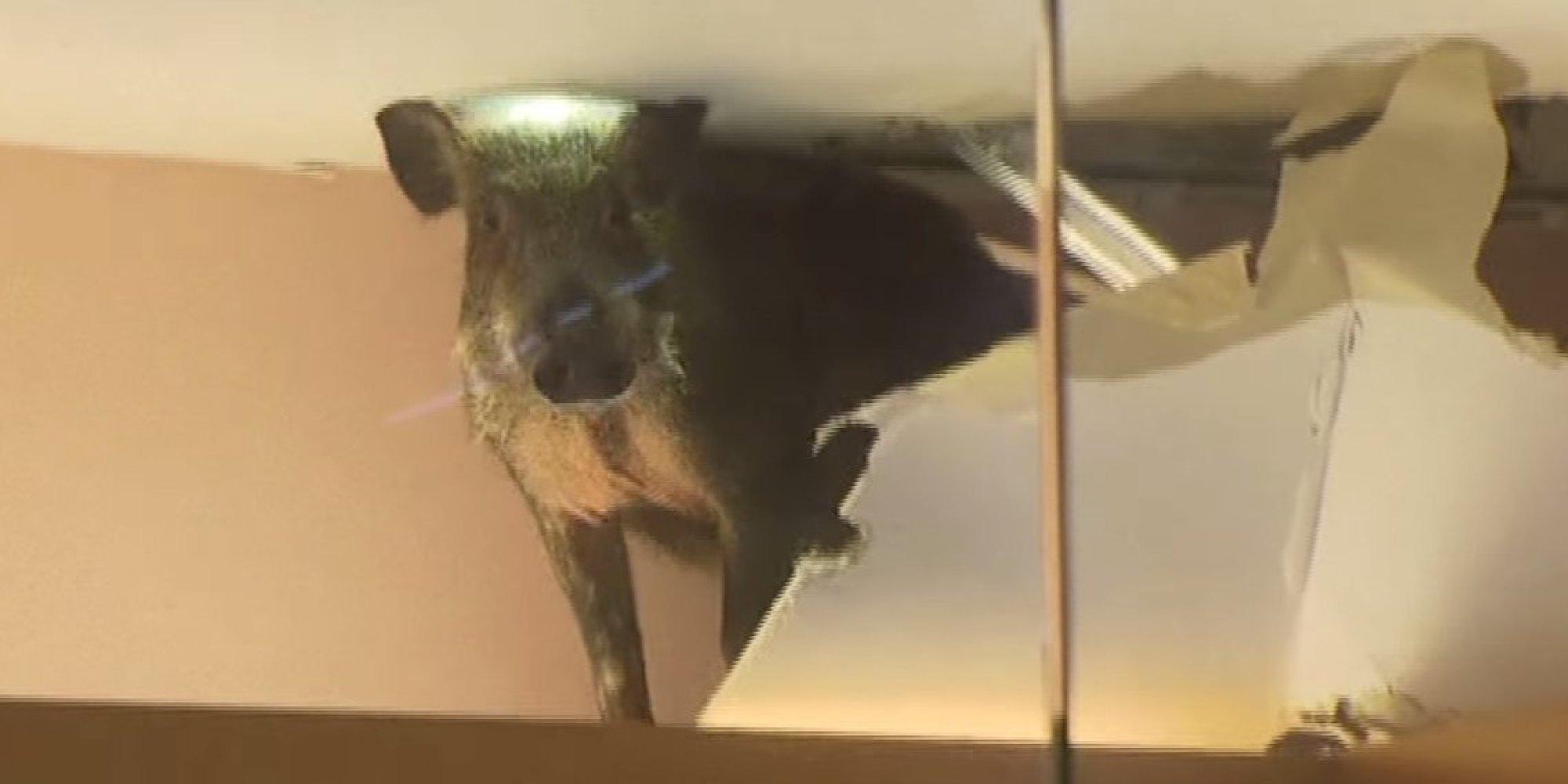 Wild Boar Falls Through Mall Ceiling In Hong Kong Hams It