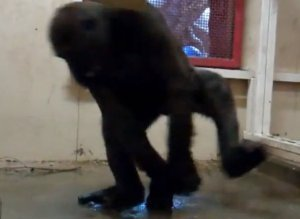 Breakdancing Gorilla Video