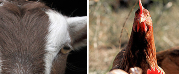 GOATS CHICKENS