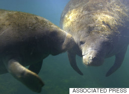Don't Disturb The Manatees During Their 'Relaxed Orgy'