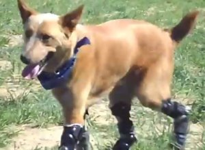 Bionic Dog Prosthetic Paws Video