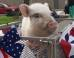 Giggles The Pig Runs For Mayor Against 2 Convicted Felons