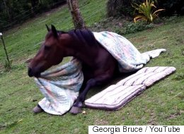 Horse Tucks Himself In, Takes A Nap