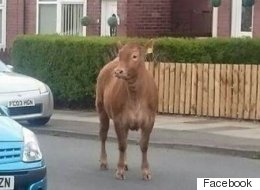 This Fugitive Cow Was Shot Dead By Police Marksmen Who Branded It A 'Significant Risk'