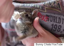 Cute Baby Bunny Rabbit Is Really Excited About His Milk