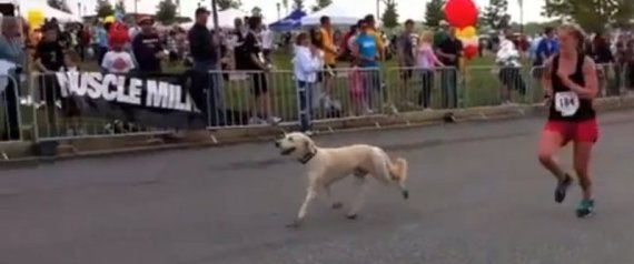 Dozer Dog Runs Marathon Video