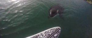ORCA PADDLEBOARD