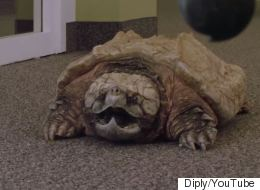 CONFIRMED: An Ugly Giant Snapping Turtle Makes A Rubbish Office Pet