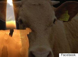 Hundreds To Attend Candlelit Vigil For 'Bessie' The Fugitive Cow Slain By Police