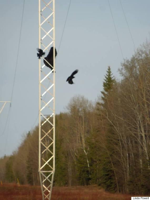 bear transmission line
