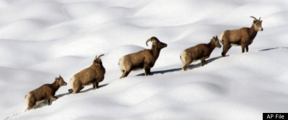 BIGHORN SHEEP MOUNTAIN LIONS