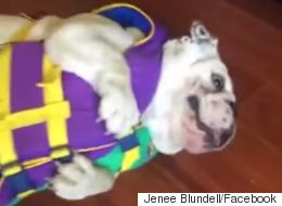 Adorable Bulldog Doesn't Like Wearing His Life Jacket