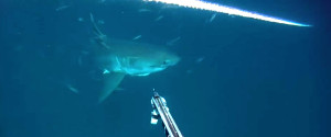 GREAT WHITE SWIMS AT DIVER