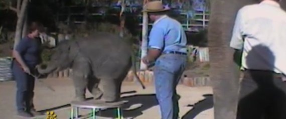 Animal Abuse Elephants Elephant Abuse Reward Offered