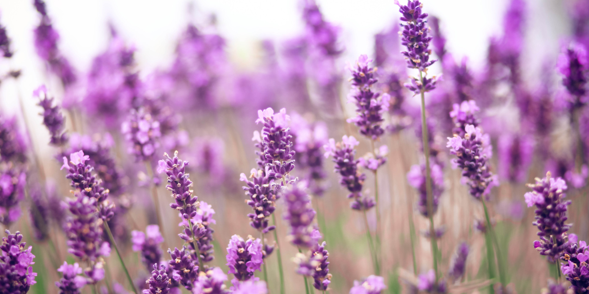 Http Www Huffingtonpost Com 2015 05 22 Lavender Beauty Benefits N 7416956 Html
