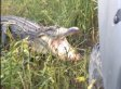 WATCH: Alligator Takes On Truck -- And Wins