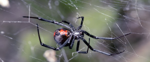 BLACK WIDOW BITE