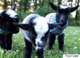 It's Wednesday So Here's Three Baby Goats Wearing Tiny Jumpers