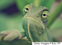 Man Who Blew Pot Into Pet Chameleon's Face Acquitted Of Animal Cruelty