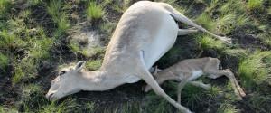 DEAD ANIMALS KZ