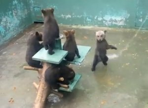 Baby Bears Playing