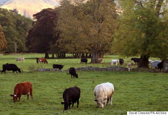 generic cow