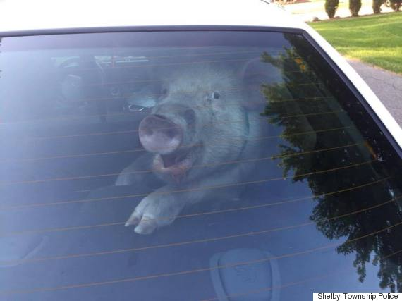 pig cop car