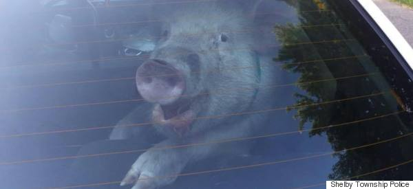Pig Poops In Back Of Cop Car, Is All Smiles