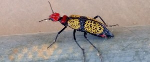 IRON BLISTER BEETLE