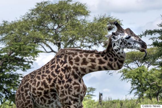 zig zag giraffe