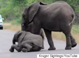 Herd Helps Collapsed Baby Elephant, Proves You Get By With A Little Help From Your Friends