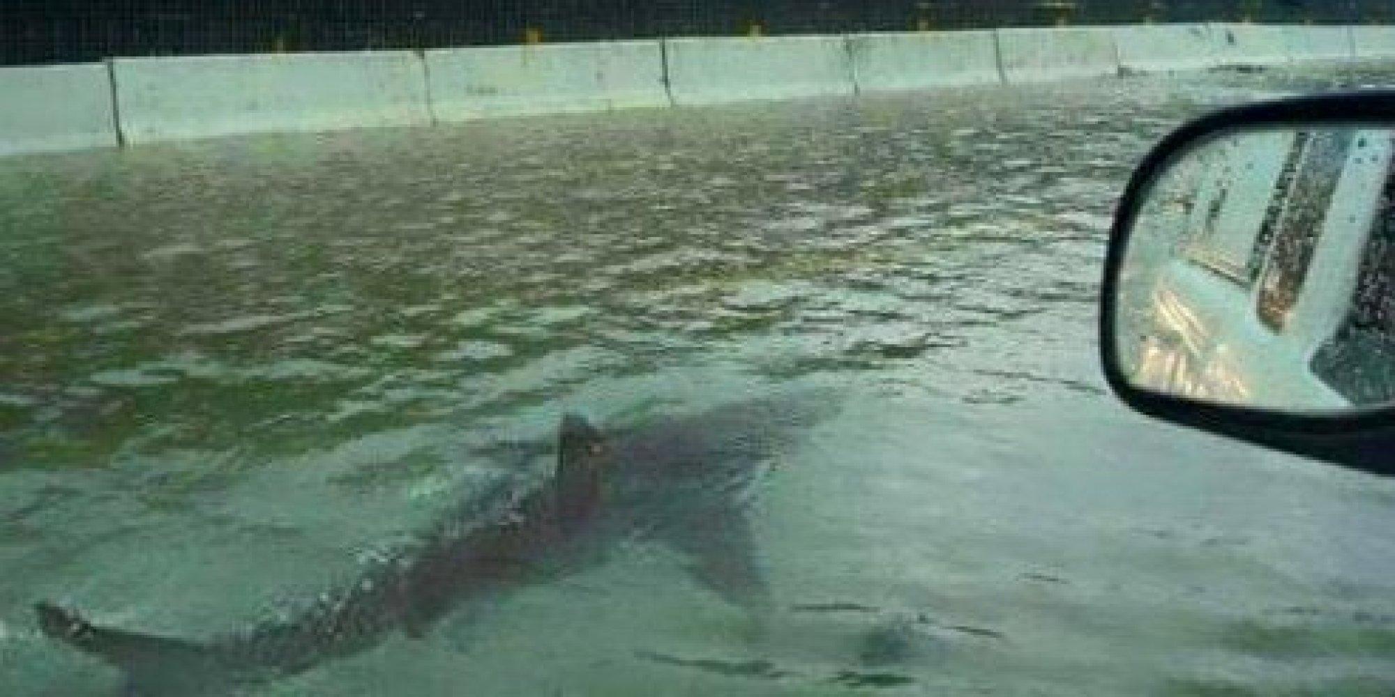 Great White Shark Swimming Down Flooded Houston Street ...